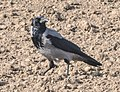 INaturalist Corvus Cornix.jpg