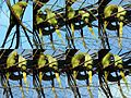 I love you, do you love me too^^ rose-ringed parakeet (Psittacula krameri), also known as the ring-necked parakeet (Halsband parkiet) at Amsterdam in a park - panoramio.jpg