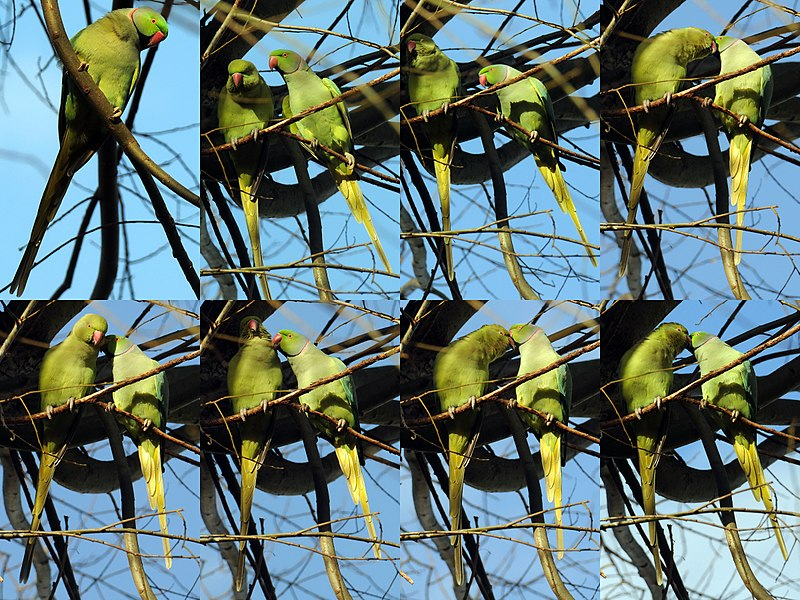 File:I love you, do you love me too^^ rose-ringed parakeet (Psittacula krameri), also known as the ring-necked parakeet (Halsband parkiet) at Amsterdam in a park - panoramio.jpg