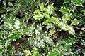 Ilex aquifolia prg 1.jpg