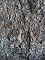 Ilex mitis bark - Kirstenbosch botanical garden - 1.jpg