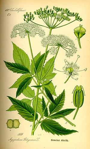 Aegopodium podagraria - Illustration from Otto Wilhelm Thomé 1885. Flora von Deutschland, Österreich und der Schweiz
