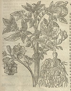 John Gerard - Image: Illustration of Potato of Virginia Wellcome L0064345