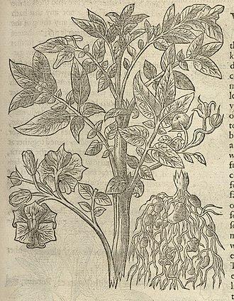 John Gerard - Image: Illustration of Potato of Virginia Wellcome L0064345