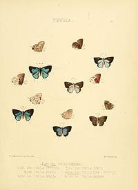 Illustrations of diurnal Lepidoptera 53.jpg