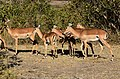 Impala, Ruaha National Park (4) (28459420620).jpg