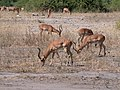 Impala Herd (48523722331).jpg