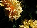 India - Srinagar - 011 - flowers at the botanical gardens (3919353538).jpg