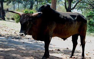 Indian aurochs