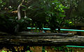 Indian Cobra (Naja naja), Indira Gandhi Zoo park, Visakhapatnam.JPG
