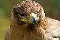 Indian Tawny Eagle (6797967326).jpg