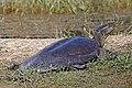 Indian flapshell turtle (Lissemys punctata punctata).jpg