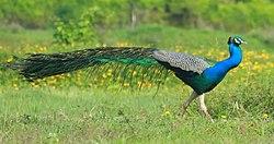 Indian peafowl,Pavo cristatus.jpg