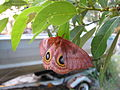 Io moth after laying eggs.JPG