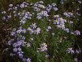 Ionactis linariifolia Arkansas.jpg
