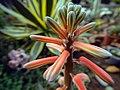 "Iran-qom-Cactus-The greenhouse of the thorn world گلخانه کاکتوس ""دنیای خار"" در روستای مبارک آباد قم- ایران 07.jpg"