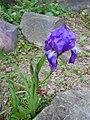 Iris aphylla ssp. hungarica 2016-05-09 0017.jpg