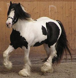 Irish Tinker horse 2.JPG