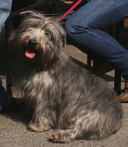 Irish glen of imaal terrier pl.jpg