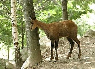 Pyrenean chamois - Image: Isard des pyrenees bigorre 2003