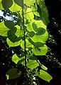 JNU Green Leaves against Sun.jpg