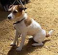 Jack-Russell-Terrier.jpg