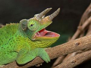 Trioceros - Jackson's three-horned chameleon  (Trioceros jacksonii )
