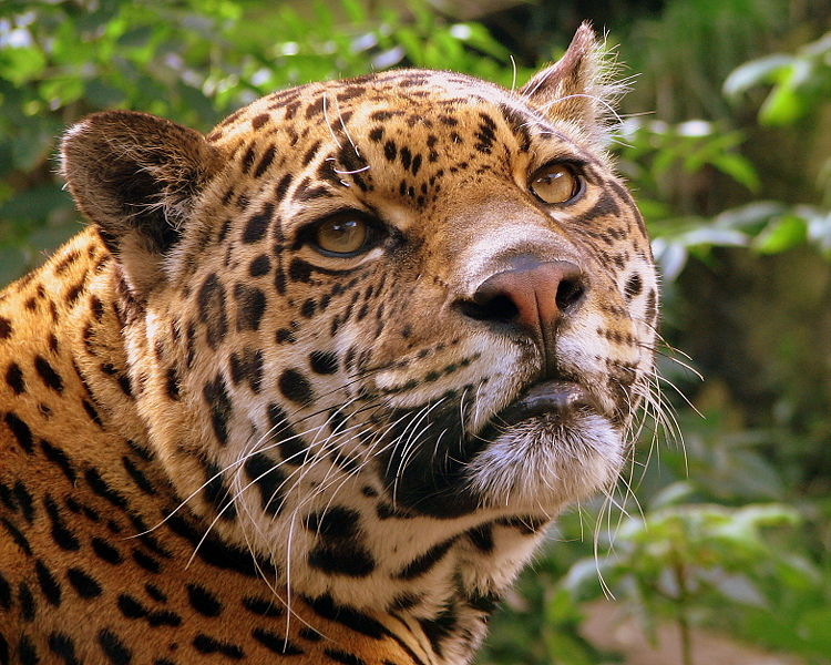 Bestand:Jaguar at Edinburgh Zoo.jpg