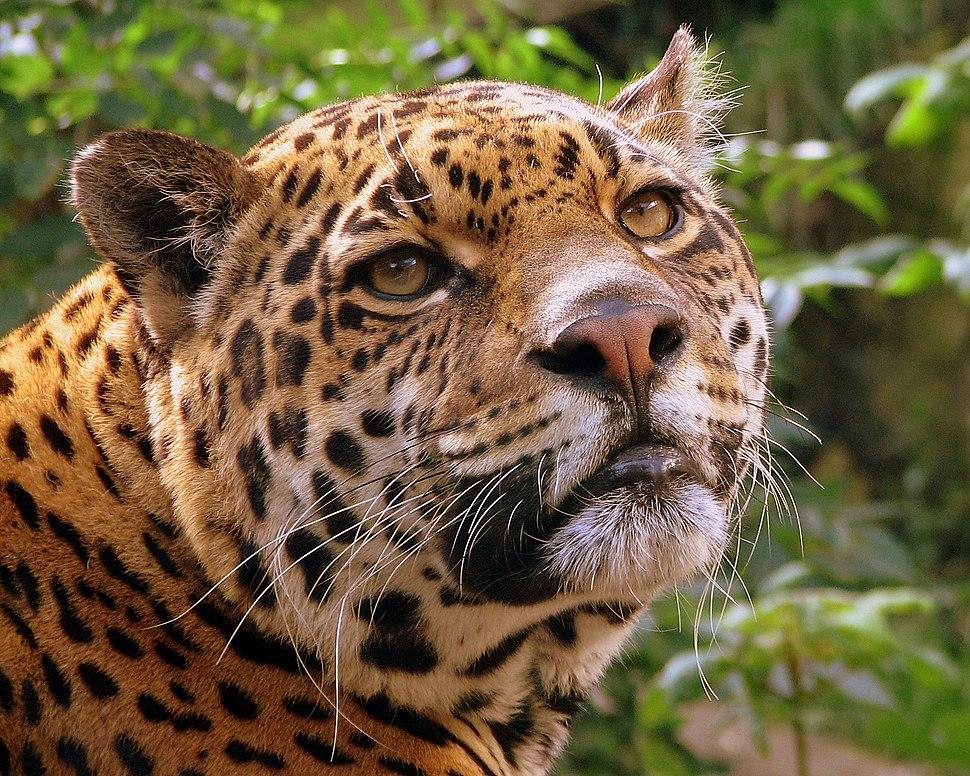 Jaguar at Edinburgh Zoo