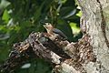 Jamaician Woodpecker (Melanerpes radiolatus) (6499237321).jpg