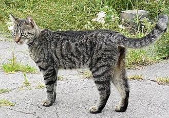Felis - F. catus: a domestic tabby cat