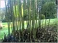 January Frost Botanic Garden Freiburg Bamboo - Master Botany Photography 2014 - panoramio.jpg