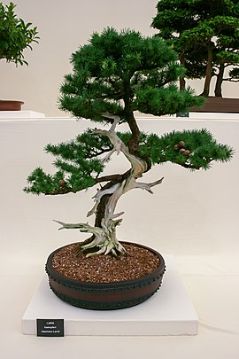 Japanese Larch bonsai.jpg