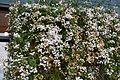 Jasmine Flowers 3 2017-04-26.jpg