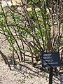 Jatropha dioica 2.JPG