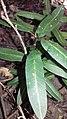 Jeune plant d'Atractocarpus pancherianus.jpg