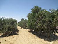Jojoba plantation in Hatzerim, Israel (3).jpg