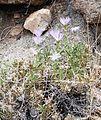 Joshua Tree National Park flowers - Xylorhiza tortifolia - 8.JPG