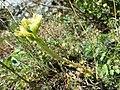 Jovibarba globifera subsp. globifera sl3.jpg