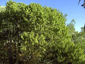 Juniperus flaccida Big Bend NP 2.jpg