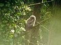 Juvenile Tawny Owl (Strix aluco) - geograph.org.uk - 419204.jpg