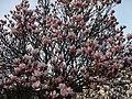 Kędzierzyn- Koźle - kwitnąca magnolia - panoramio.jpg