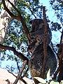 KOALAS AT CURRUMBIN.jpg