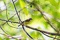 Kentucky warbler (26646376445).jpg