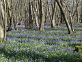 King's Wood in Bluebell season 10.JPG