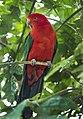 King Parrot Cairns-1 (23473730982).jpg