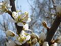Kirschblüte im Bayerischen Wald.JPG