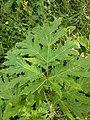 Klinkenbergerplas - Reuzenberenklauw (Heracleum mantegazzianum).jpg