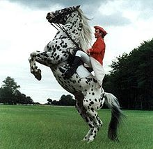 A white horse with small dark spots all over its body, standing on its hind legs on a green lawn while being ridden by a man in a red shirt and red cap with white breeches and tall black boots