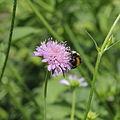 Knautia dipsacifolia-IMG 3631.jpg